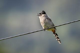 Sooty Headed Bulbul Pycnonotus Aurigaster Birds Of The World