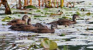 Wood Duck, ML73161241