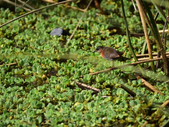 Rufous-sided Crake - Miguel  Ansenuza