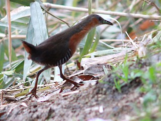 - Rufous-sided Crake