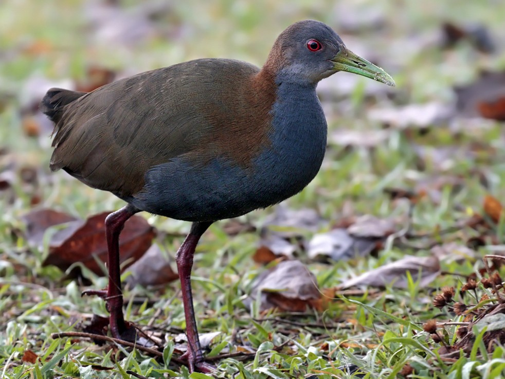 Slaty-breasted Wood-Rail - Alec Earnshaw