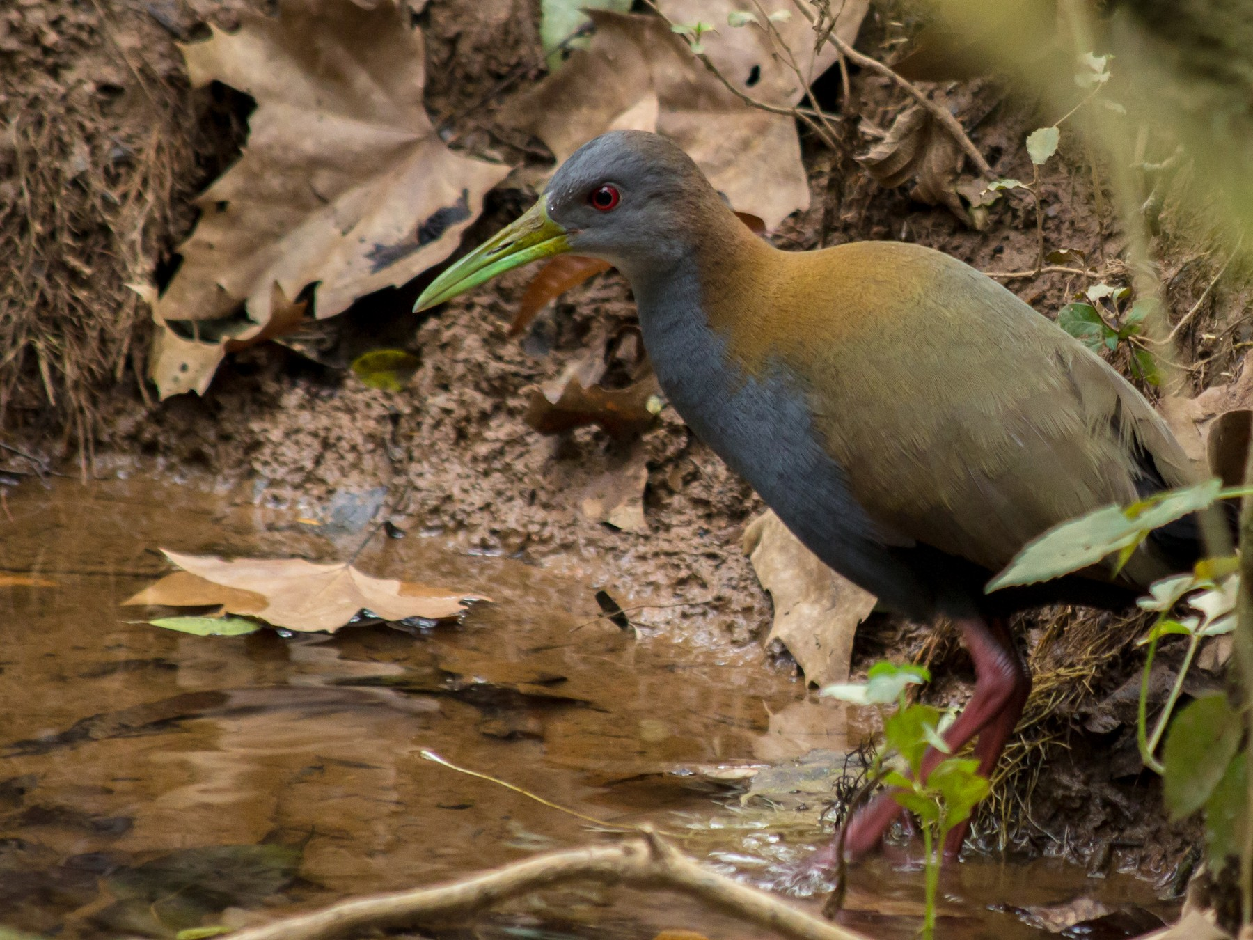 Slaty-breasted Wood-Rail - André  Zambolli