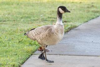 Cackling Goose, ML73207071