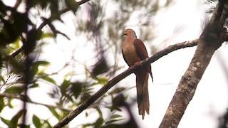 - Amboyna Cuckoo-Dove