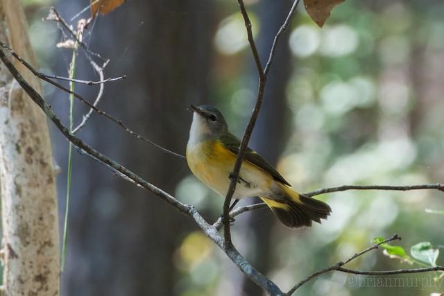 ©Brian Murphy - American Redstart