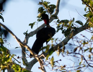 Crested Guan, ML73425911