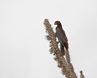 - Greater Vasa Parrot