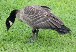 Cackling Goose, ML73449651