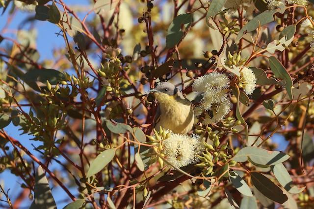 Gray-headed Honeyeater