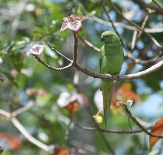 - Echo Parakeet