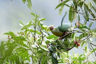 - Yellow-breasted Fruit-Dove