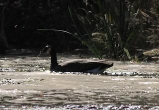 Cackling Goose (minima), ML73514941