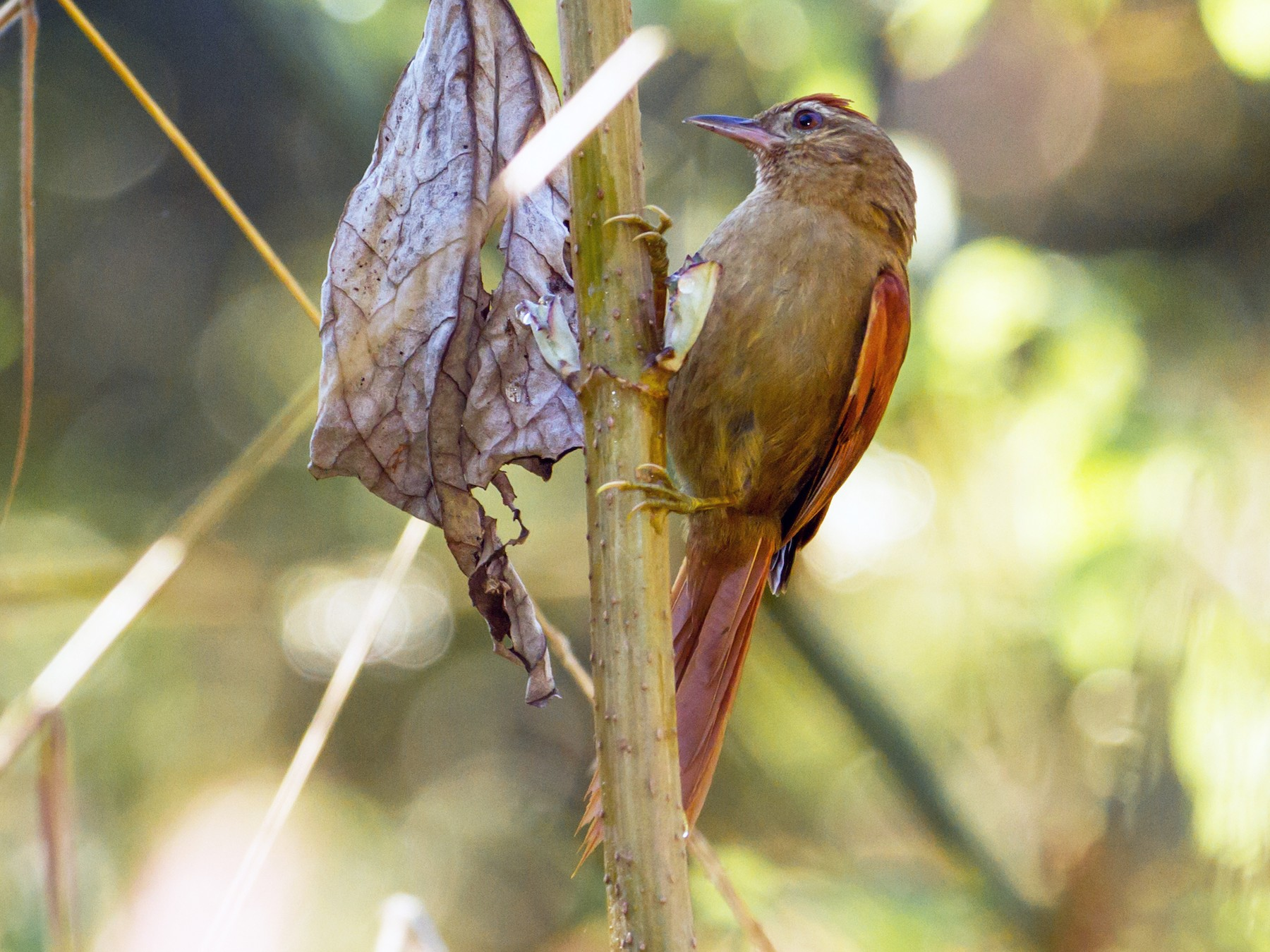 Ash-browed Spinetail - Cullen Hanks