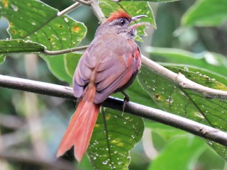 - Ash-browed Spinetail