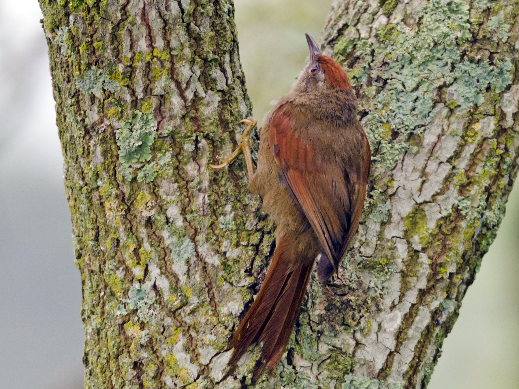 Ash-browed Spinetail - Neil Diaz