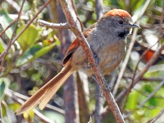 - Silvery-throated Spinetail