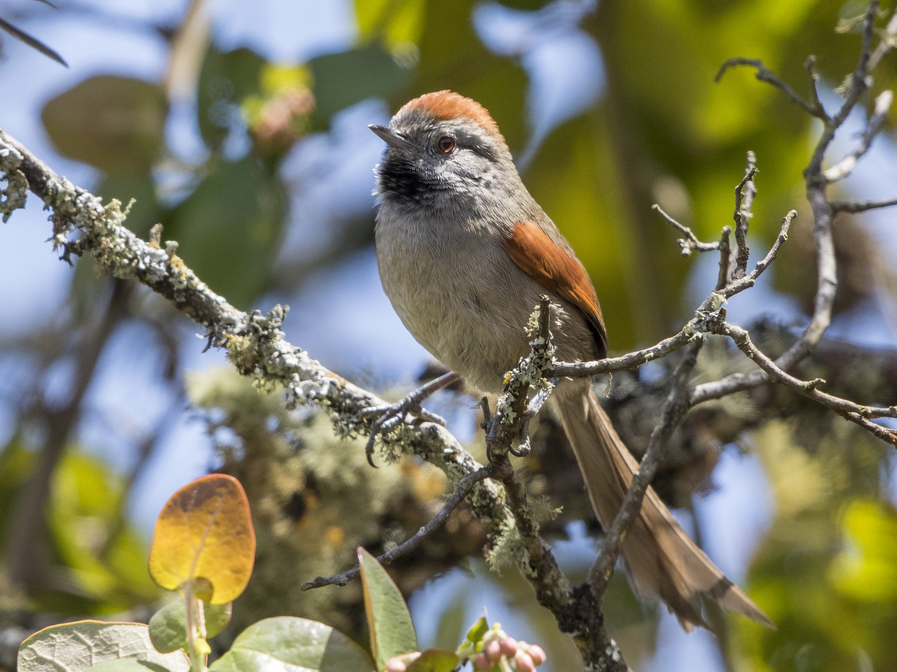 Silvery-throated Spinetail - Peter Hawrylyshyn
