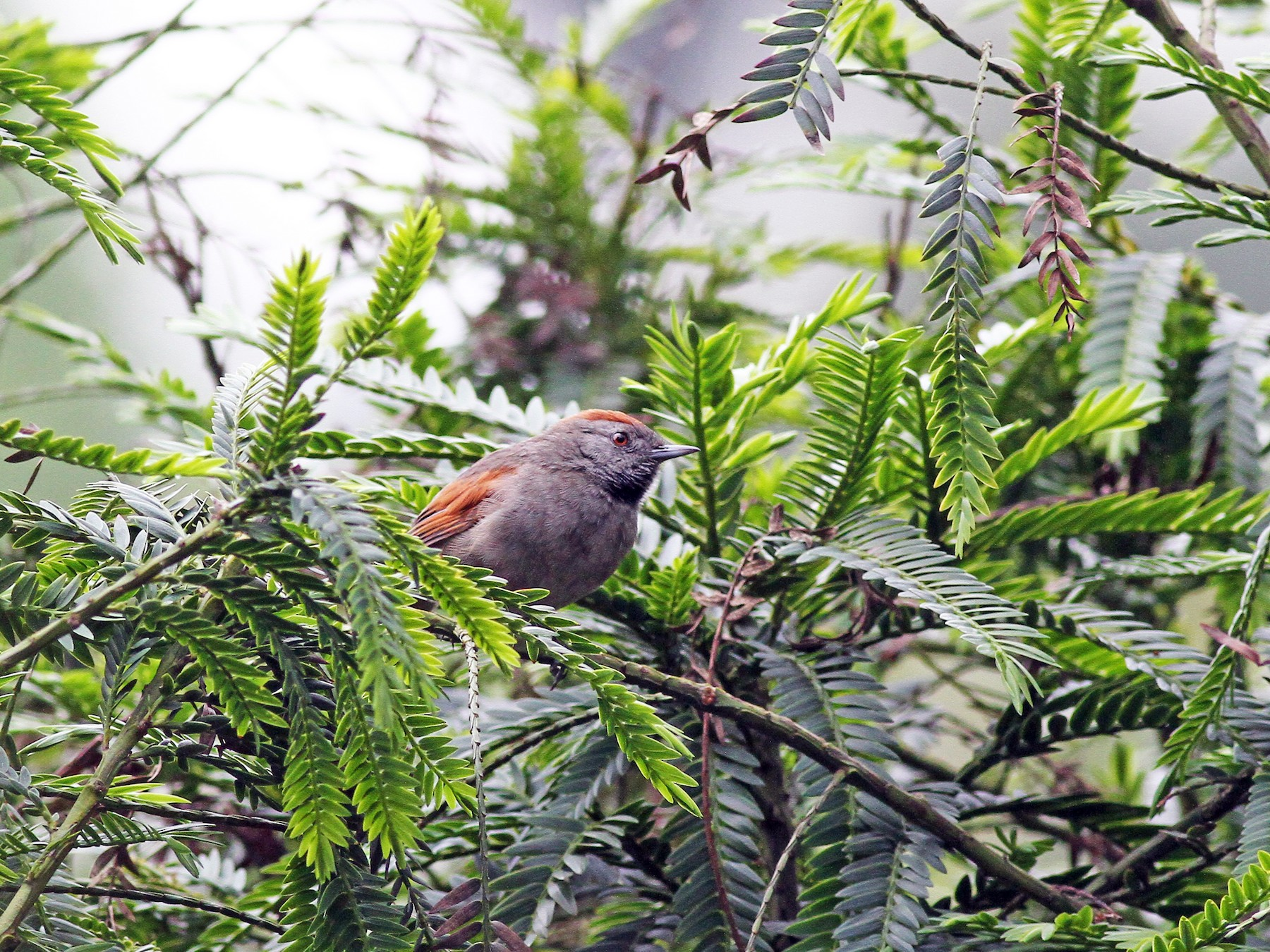 Silvery-throated Spinetail - Michael McCloy