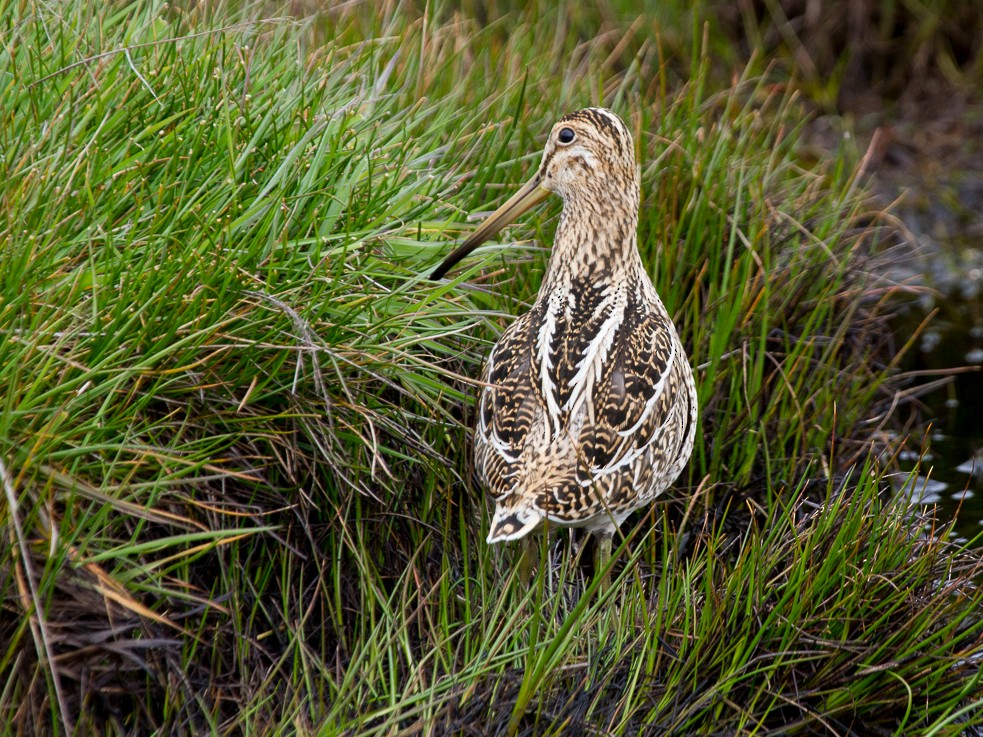 South American Snipe - Robert Lewis
