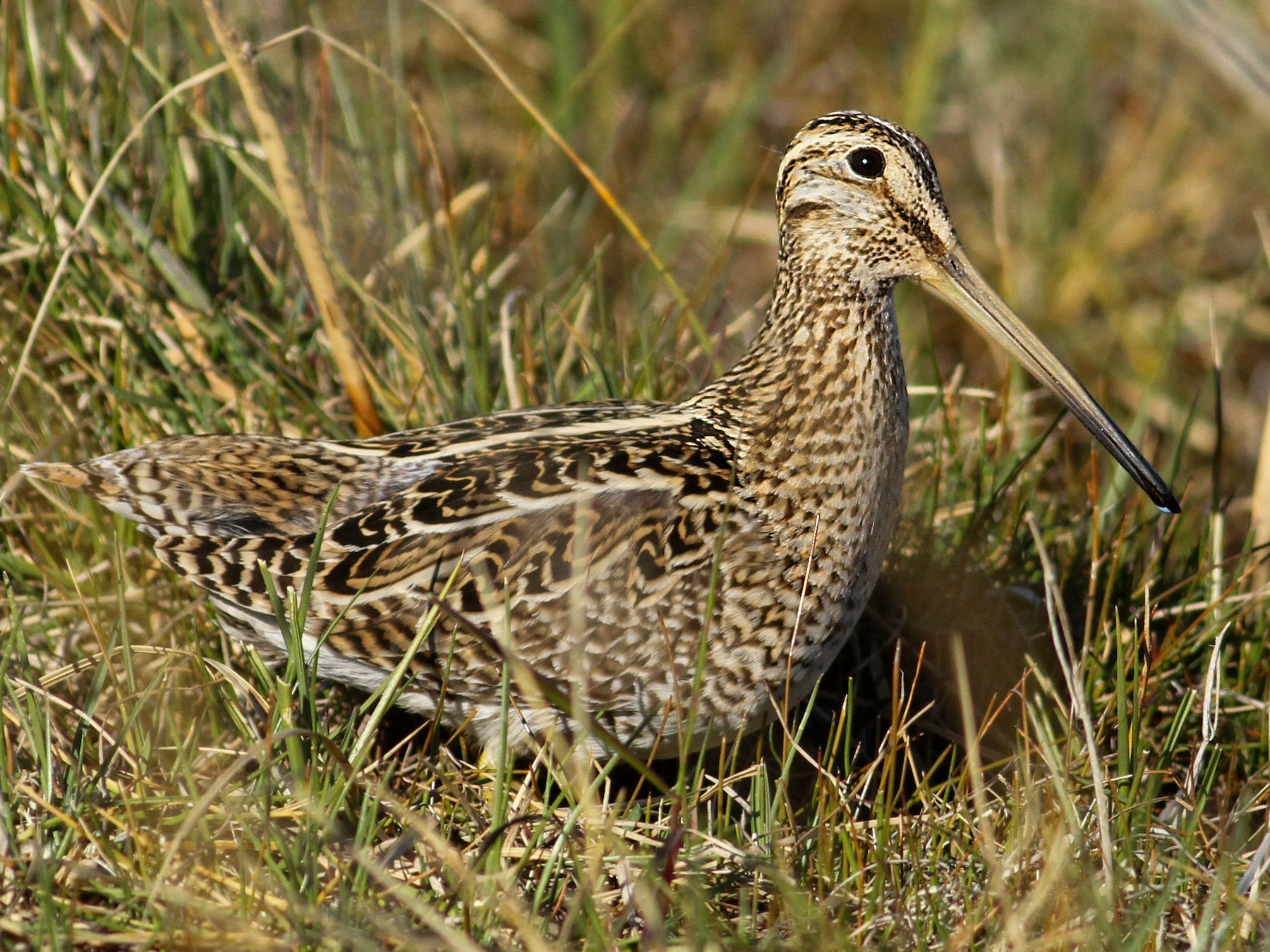 South American Snipe - Luke Seitz