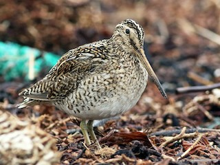 - South American Snipe