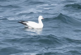 Ross's Goose, ML73698911
