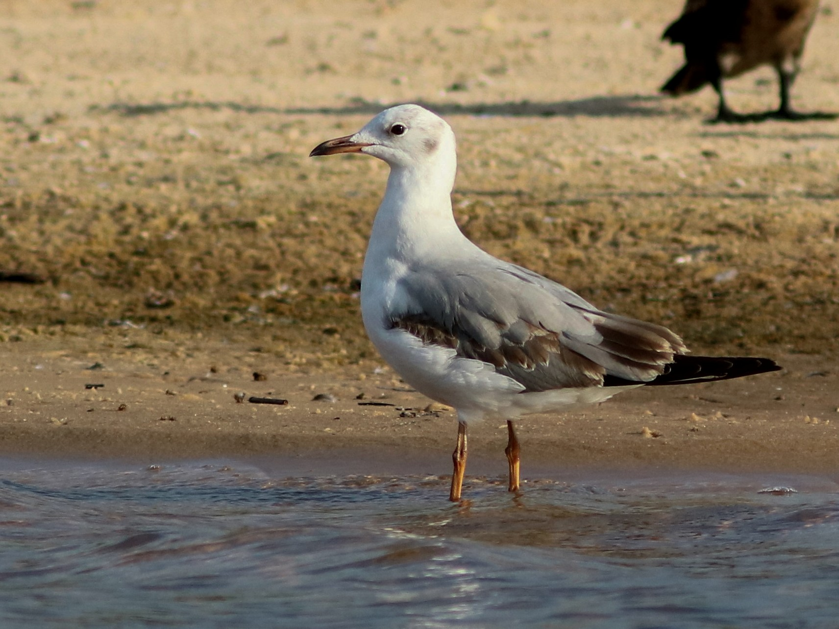 Gray-hooded Gull - John Drummond