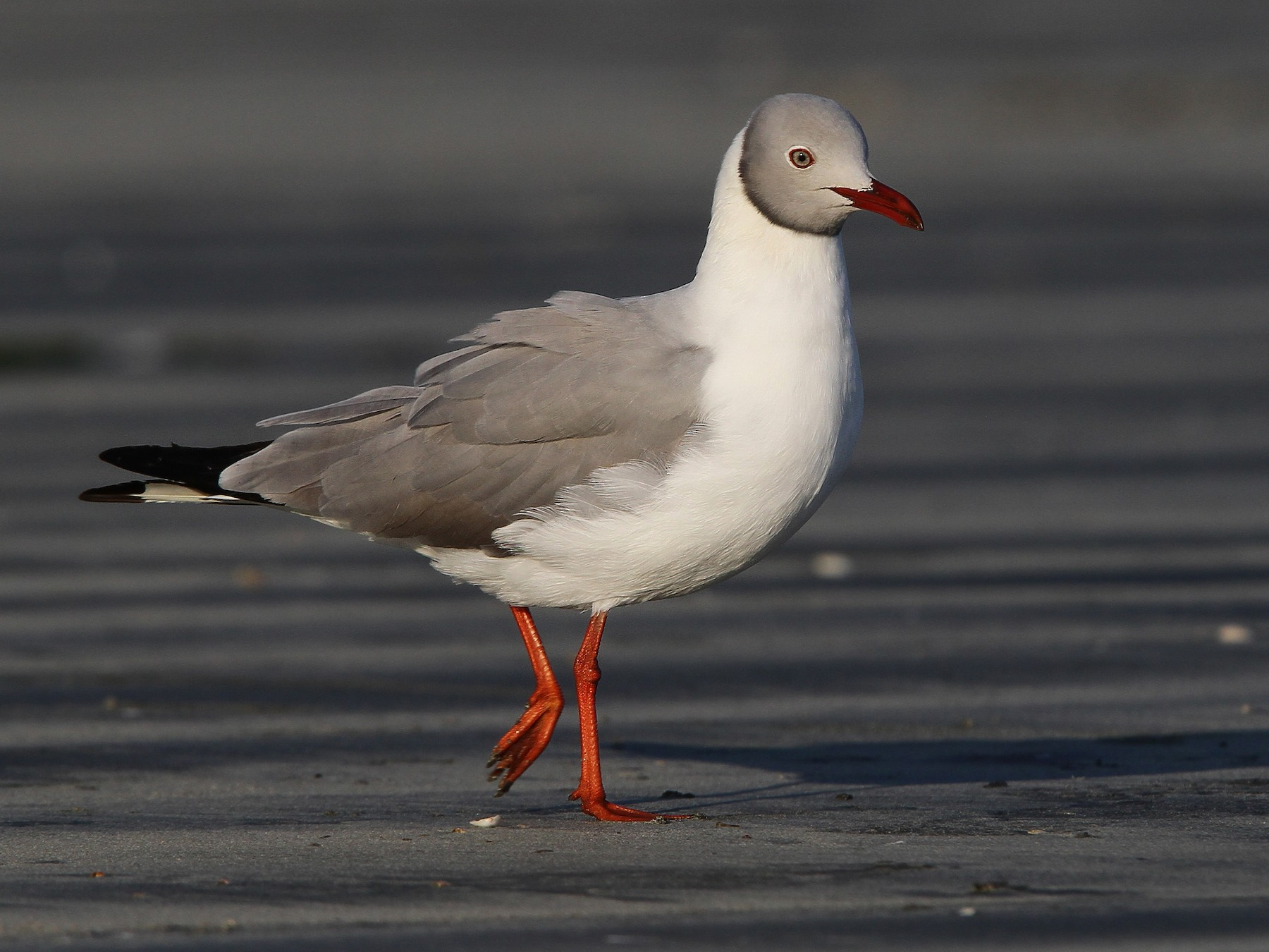 Gray-hooded Gull - Christoph Moning