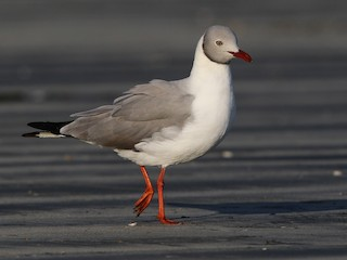 - Gray-hooded Gull