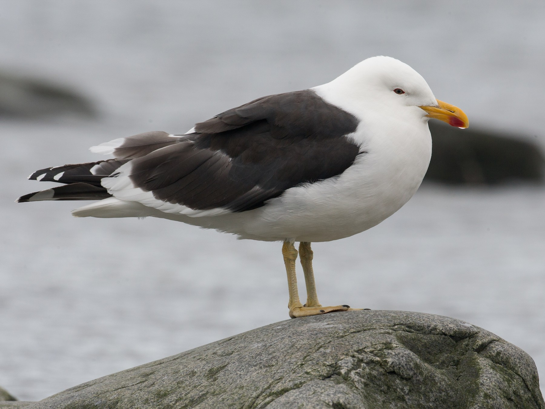Kelp Gull - Chris Wood