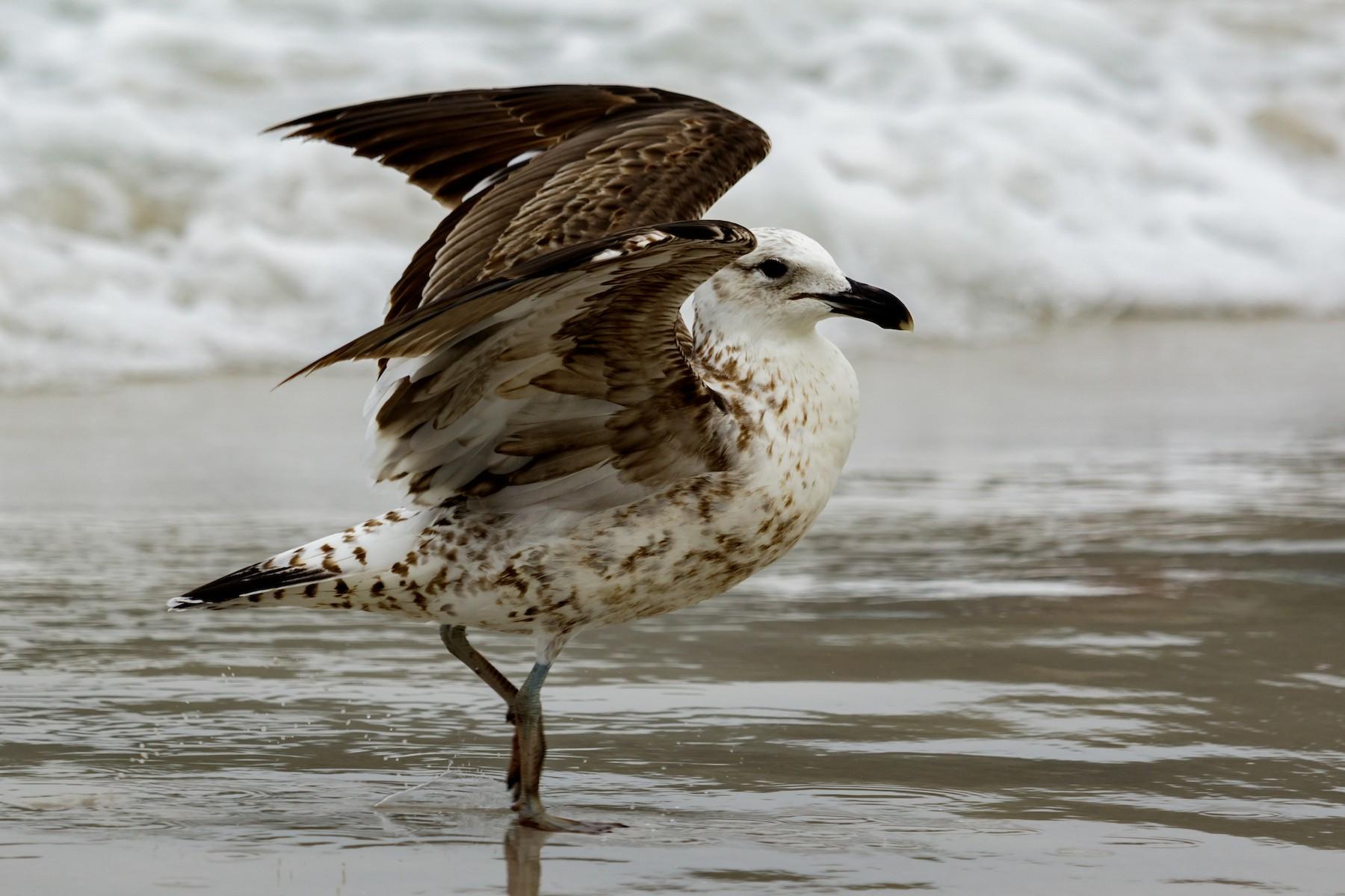 Kelp Gull - Kacau Oliveira