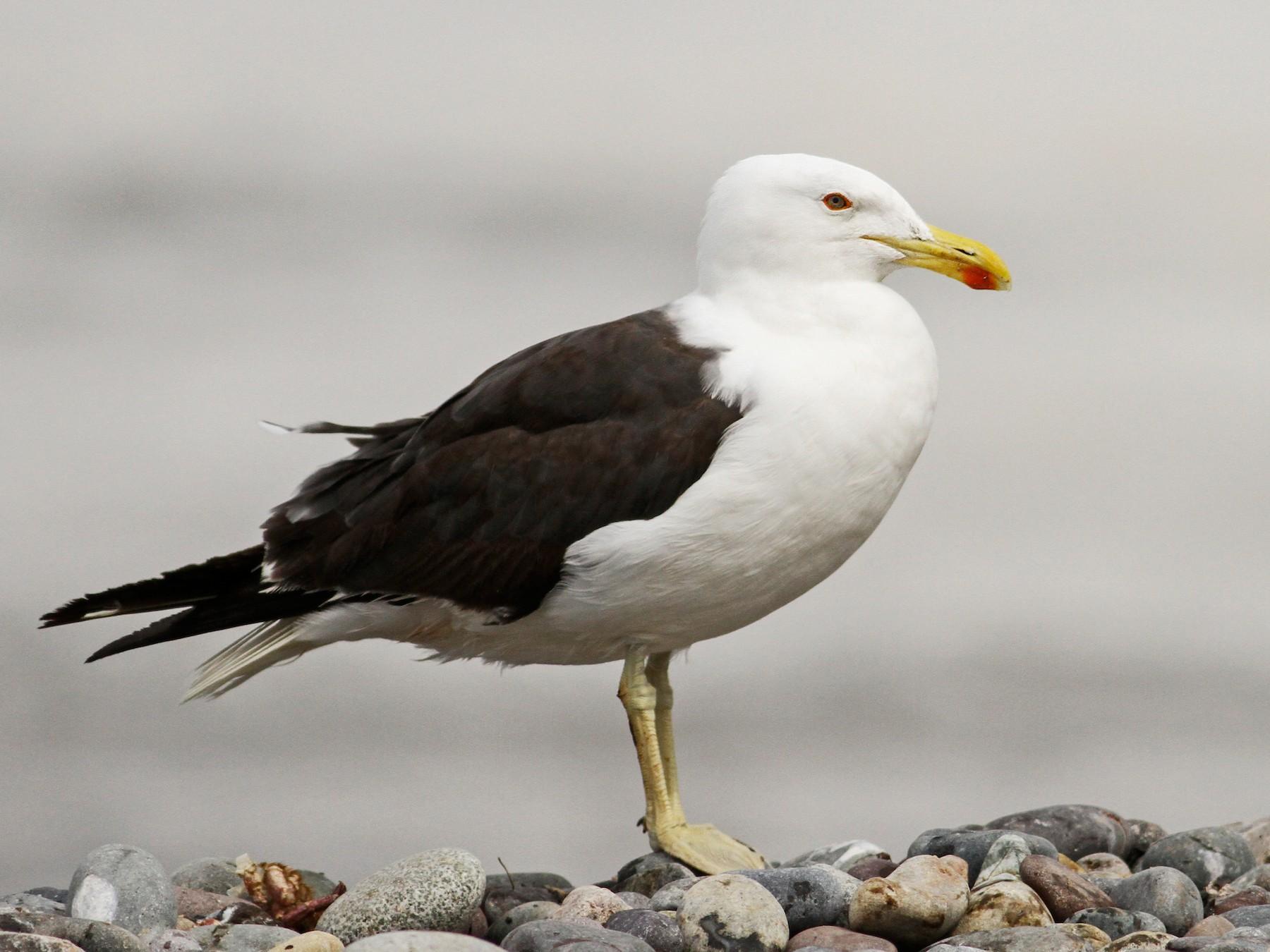 Kelp Gull - Luke Seitz