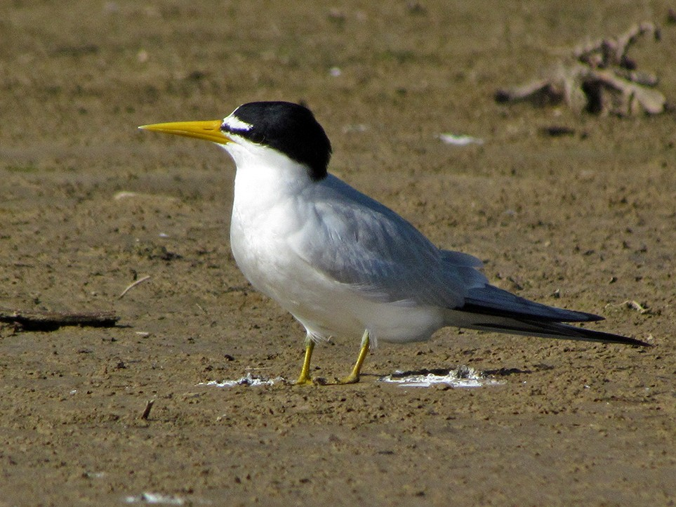 Yellow-billed Tern - Fabricio Gorleri