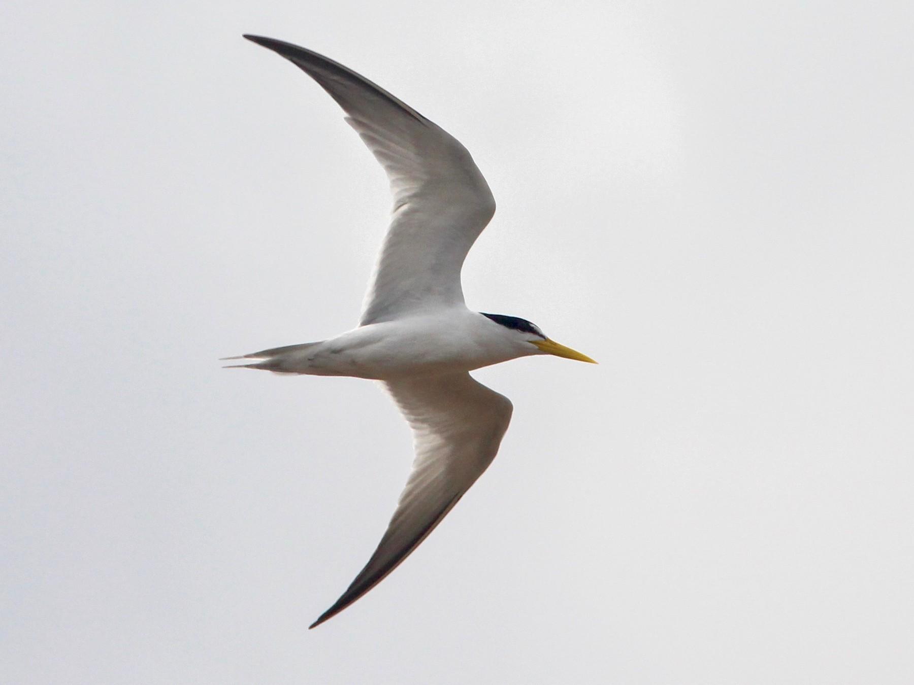 Yellow-billed Tern - Oscar  Johnson