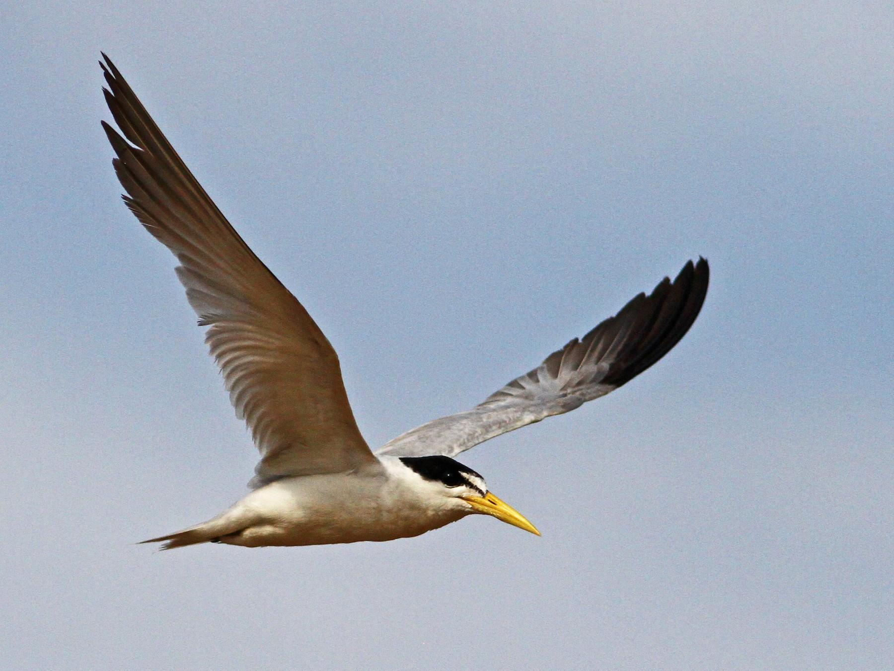 Yellow-billed Tern - Ian Davies