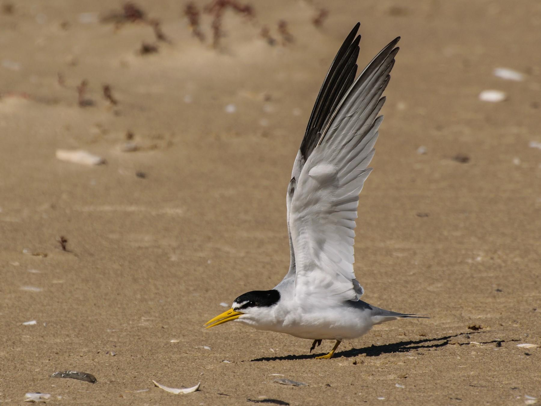 Yellow-billed Tern - Andrés De Muro