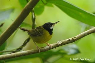 - Yellow-breasted Tailorbird