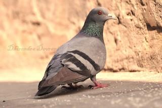 Rock Pigeon, ML73884691