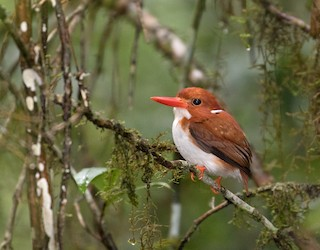 - Madagascar Pygmy-Kingfisher