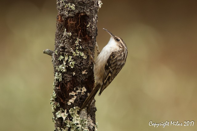 ©Milas Santos - Short-toed Treecreeper