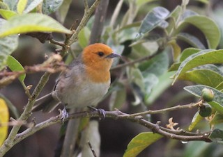 - Brown-flanked Tanager