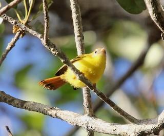 - Livingstone's Flycatcher