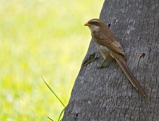 - Yellow-billed Shrike