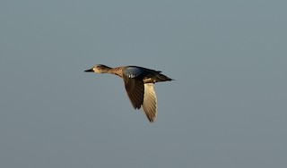 Blue-winged Teal, ML74277751