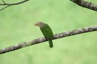 - Lineated Barbet