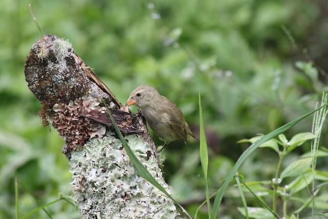 Woodpecker Finch