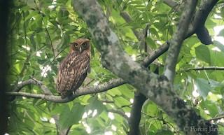 - Philippine Eagle-Owl