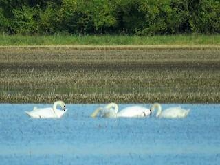 Mute Swan, ML74567371