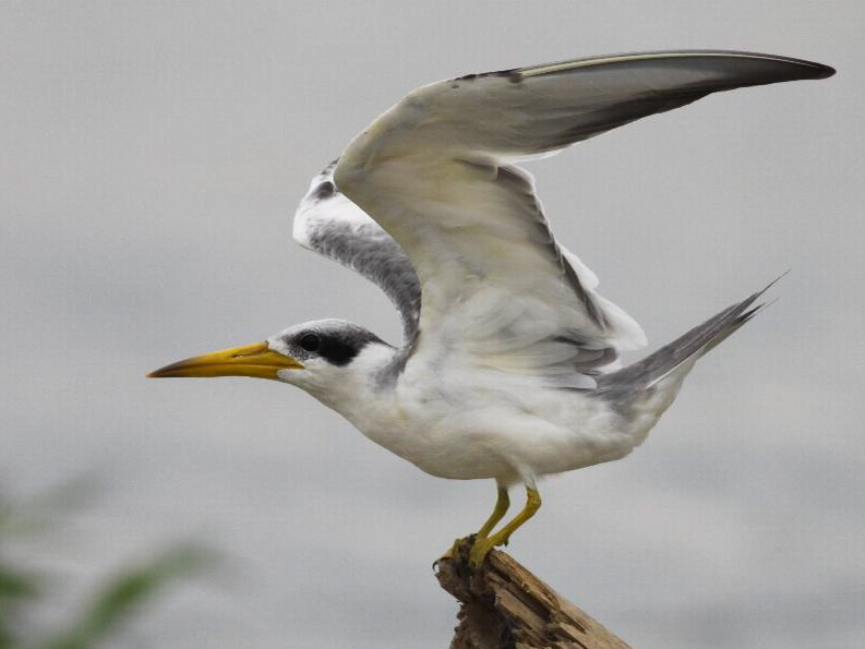 Large-billed Tern - Ian Davies