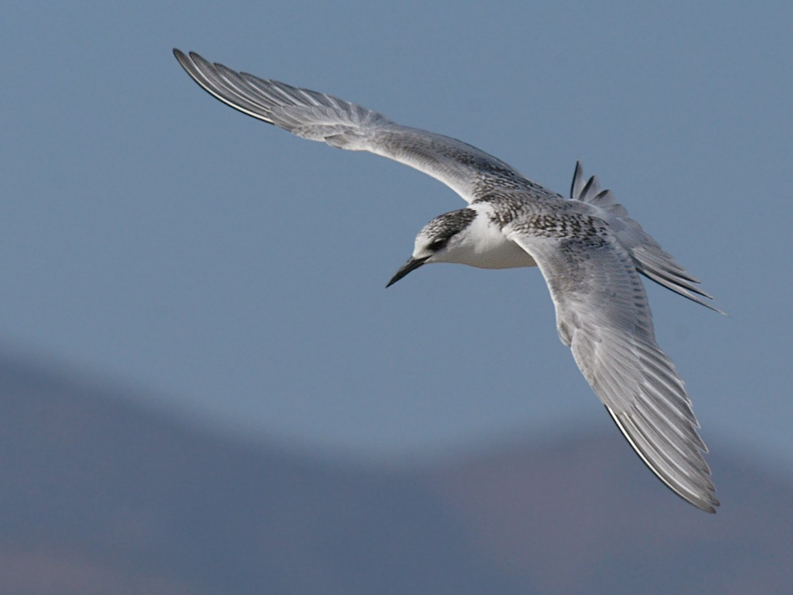 South American Tern - Etienne Artigau